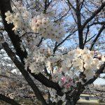 満開の桜の下で新規お墓の建立を完成いたしました。
