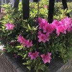 はや5月に入りました!サツキがとても綺麗に咲き始めています。今の時期からお墓の雑草対策工事が盛んになってまいります。